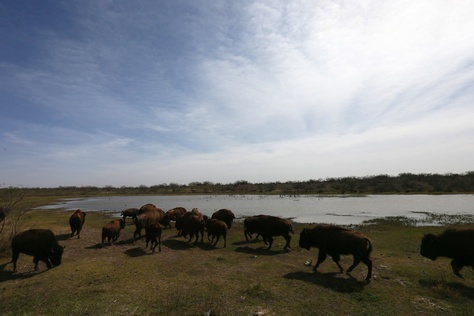 Southern plains bison from the Goodnight heard are raised for meat on Hugh Fitzsimons's SHAPE Ranch in Carrizo Springs, TX, February, 21, 2013.
