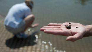 Christopher J. Churchill, a biologist for the U.S. Department of the Interior and U.S. Geological Survey, displays several zebra mussels found along the shoreline of Lake Ray Roberts, near Sanger, Texas, Jul. 18, 2013.