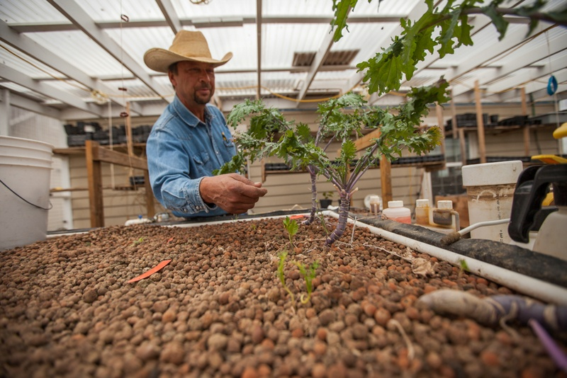 Gerald Cole, owner of Organicare Farms in Taylor, checks his kale plants. The vegetables are grown using aquaponics, a system in which waste matter from fish in tanks is broken down and used as nutrients for the plants.