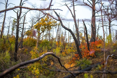 The Lost Pines Forest in Bastrop State Park, which was devastated by a fire in 2011.