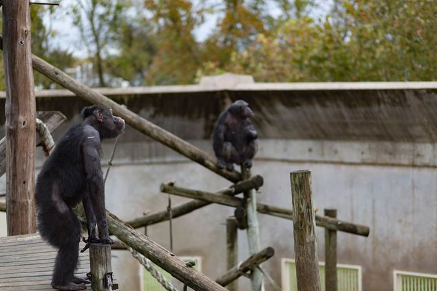 Chimpanzees waiting to be fed lunch, which is usually a combination of different fruits.