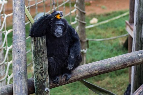 In November, the National Institutes of Health announced it would no longer support biomedical research on chimpanzees, which means the nearly 160 federally-owned chimps in Texas will be retired to sanctuaries.