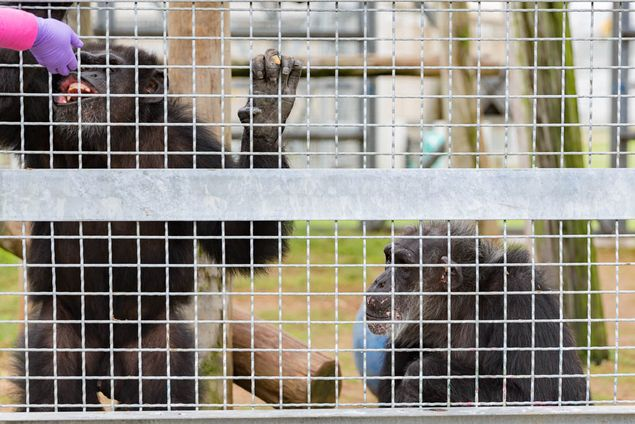Chimpanzees at the Michale E. Keeling Center only participate in voluntary training. The trainer will reward them with fruits, such as apples and bananas, but they are free to leave the training pod at any time.