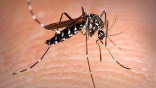 The Aedes albopictus mosquito.