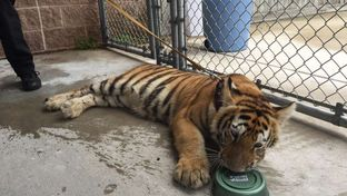 Animal control officers in Conroe, Texas captured a young female tiger wandering the streets on April 21 after widespread flooding in the Houston area.