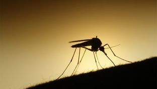 Aedes aegypti mosquitoes can transmit the Zika virus, which has been linked to birth defects, to humans. Officials say there have been no cases of mosquito-to-human transmission in Texas.