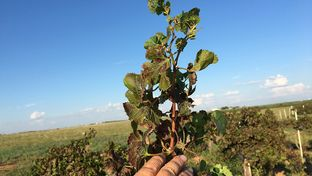 In his vineyard, Bobby Cox uses hand-for-scale to show how long his grape leaves should actually be. Chemical damage from herbicide drift causes leaves to shrivel and suffer from strapping, interrupting the grape productivity.