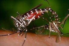 Asian tiger mosquito, Aedes albopictus