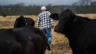 John Stoneham walks in a field with his cows at his ranch on Wednesday, January 18, 2017 in Grimes County. The roughly 1,000-acre ranch is in the proposed path of a high speed rail line. If the rail is built, Stoneham could lose about 50 acres of land in the middle of his property, limiting his access to grazing pastures.