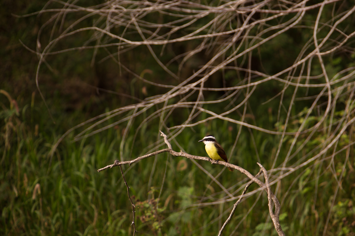 A kiskadee at Resaca de la Palma State Park and World Birding Center near Brownsville. Two major migratory bird paths converge in the area, and several tropical bird species there can't be found anywhere else in the United States.