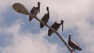 "Twenty brown pelicans now call Texas home after getting ""oiled"" in the BP spill off Louisiana's coast"