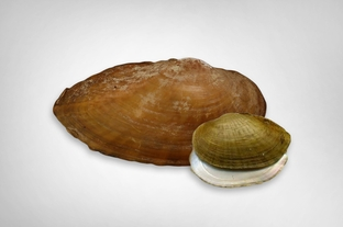 Texas Fawnsfoot, a potentially endangered mussel
