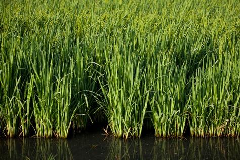 A rice field near Bay City, Texas.