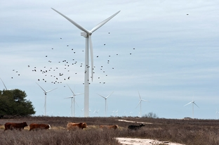 Cows graze near wind turbines at an Iberdrola Renewables wind farm along the Texas coast.