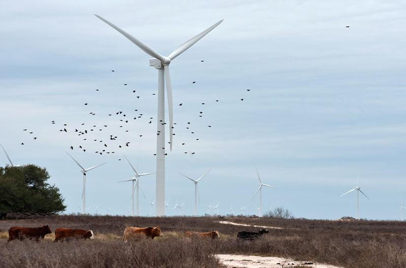 Cows graze near wind turbines at an Iberdrola Renewables wind farm along the Texas coast.