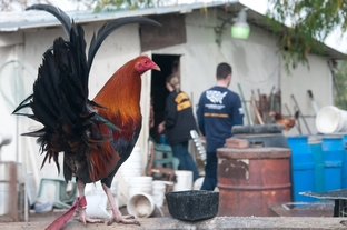 The Humane Society of the United States supplied key information that led to the raid of an alleged cockfighting breeding facility in Santa Fe, Tex.