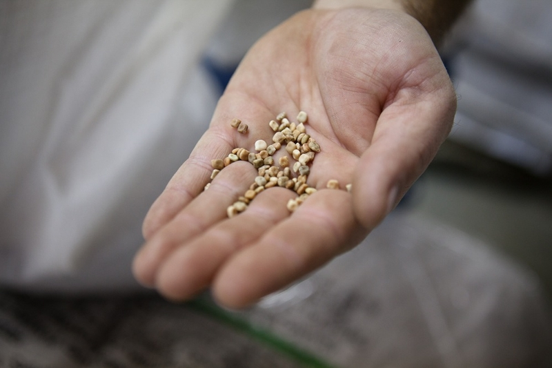George Cates, a manager at Native American Seed's seed cleaning plant in Junction, shows a handful of Bluebonnet seeds.