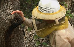 Central Texas Regional Mobility Authority analysts recently discovered a large beehive in a tree near Austin's airport. To protect the honeybees, whose population is declining worldwide, the mobility authority asked a local beekeeper for help.